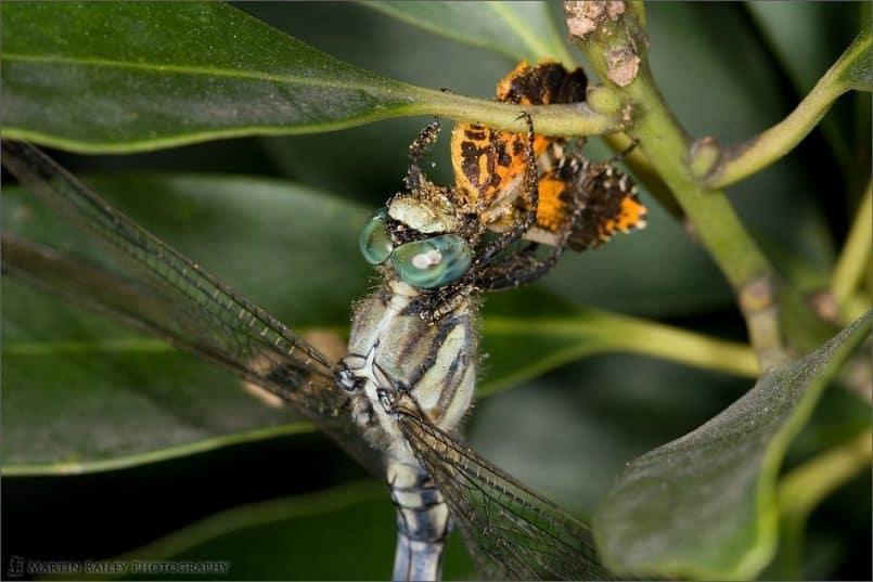 Dragonfly Dinner Time