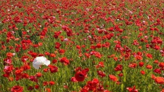 Poppies 2005
