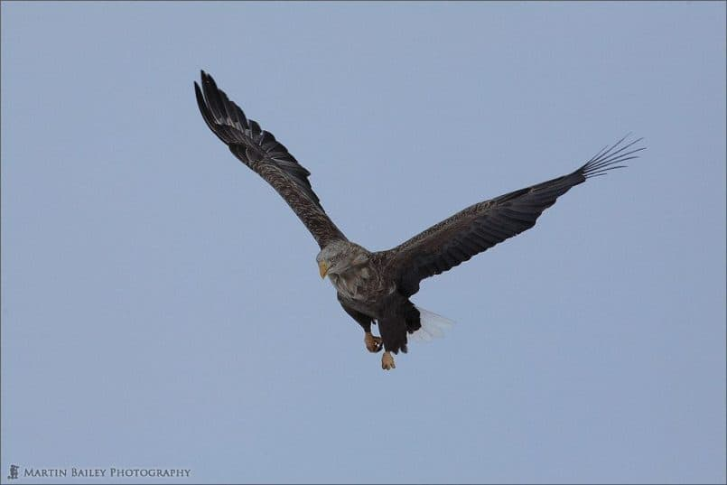Daunting White-Tailed Eagle
