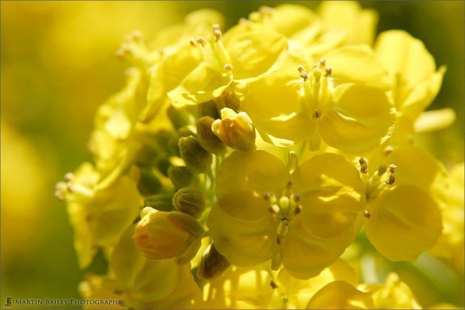 Rape Flower 2005