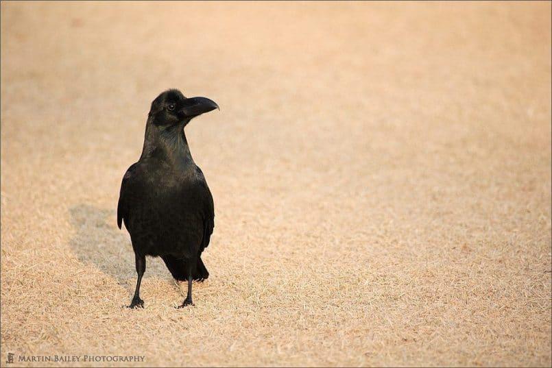 The Crow's Regard