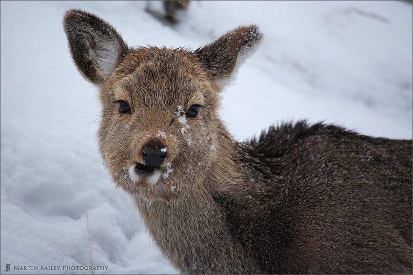 Ezo Deer #1