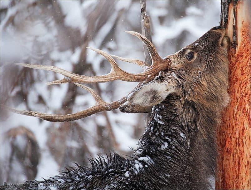 Ezo Deer #4