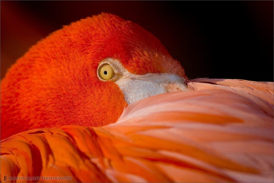 The Pink Flamingo's Stare [C]