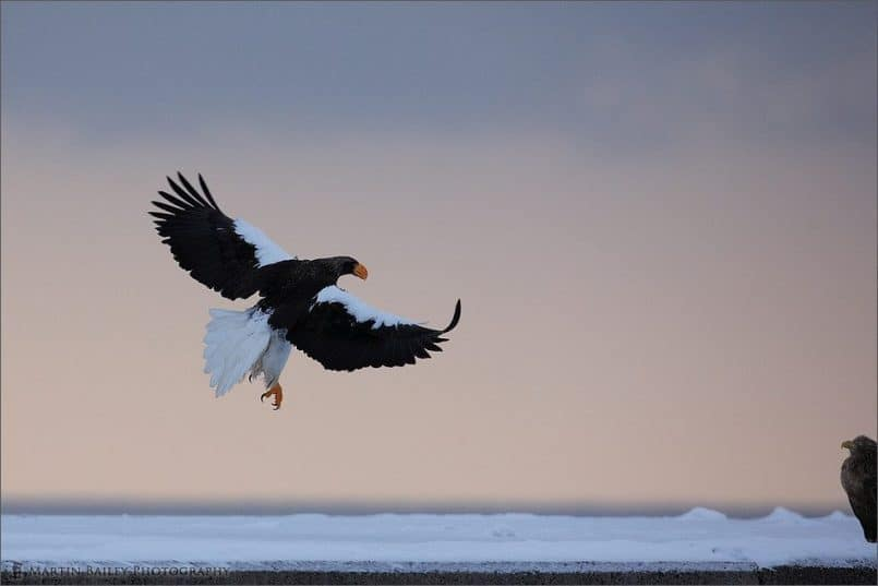 Rausu Steller's Sea Eagle #2