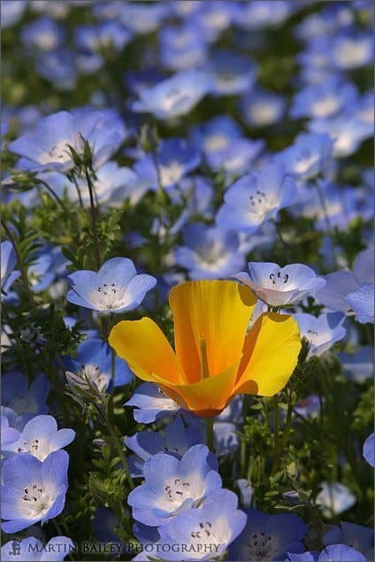Poppy in Baby Blue Eyes (Nemophila)