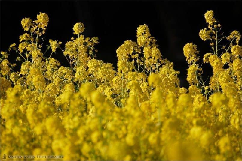 Rape Flower 2005 #4
