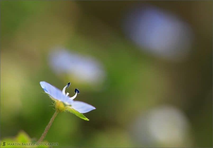 Frail Blue Flower