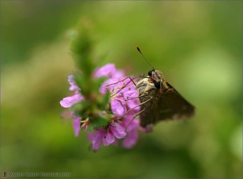 Raggedy Moth 1 (Parnara guttata Bremer et Grey)