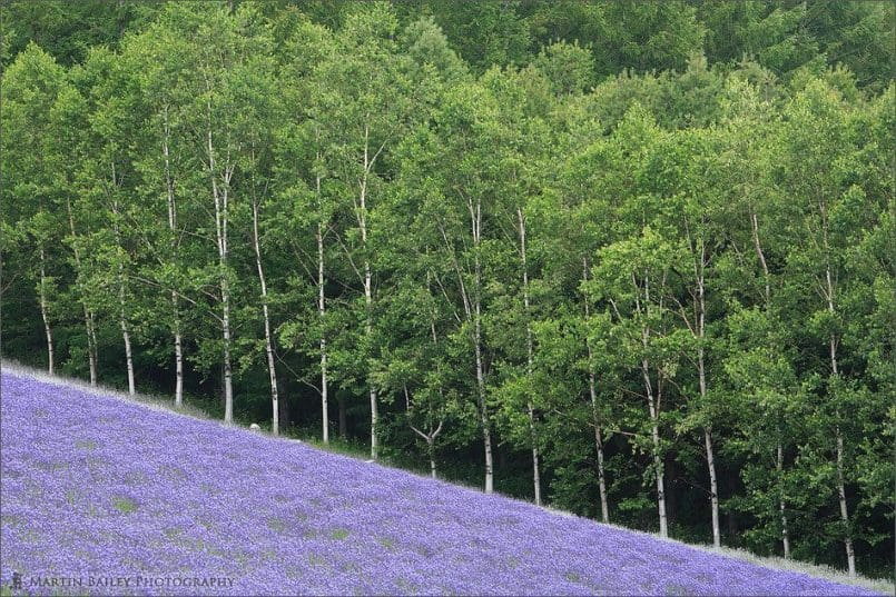 Lavender Field with Birch Trees