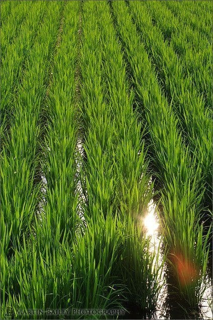 Reflection in Rice Paddy