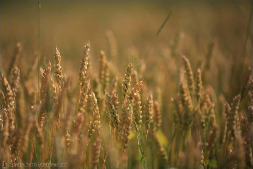 Golden Crop