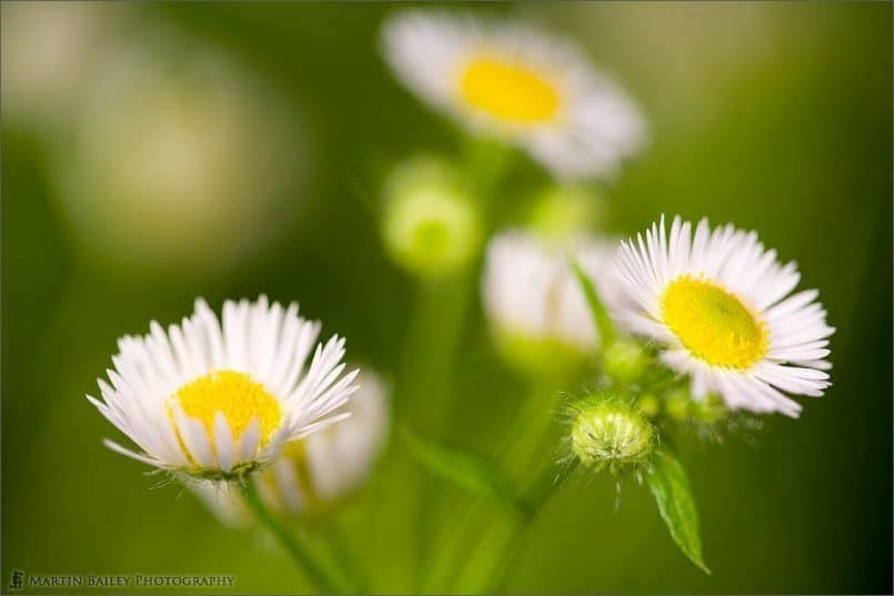 Himejo-on (Erigeron annuus)