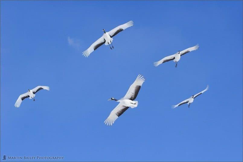 Japanese Cranes 2006 #15