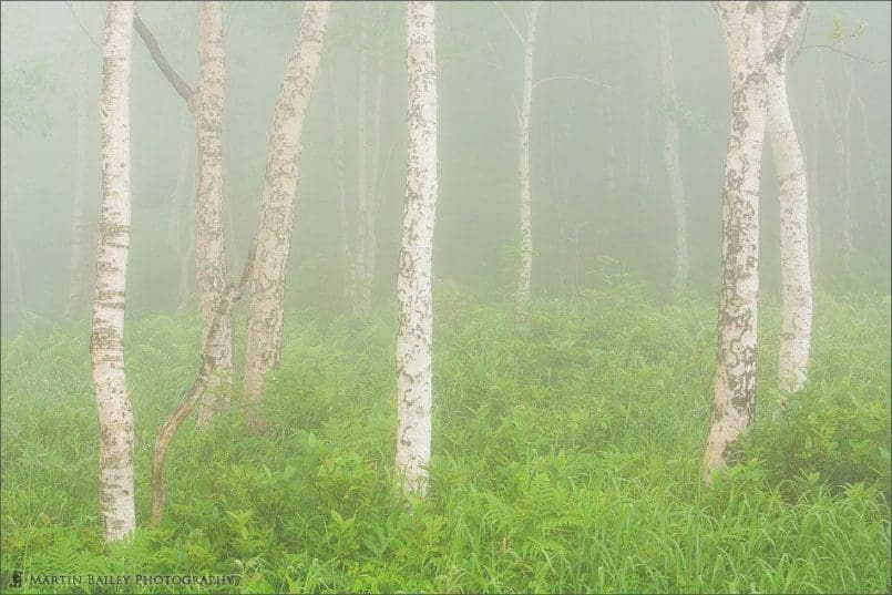 Birch Trees in Mist