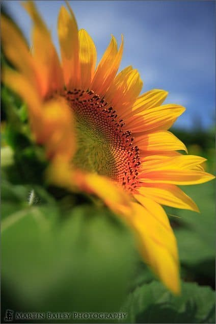 Sunflower 2006 #1