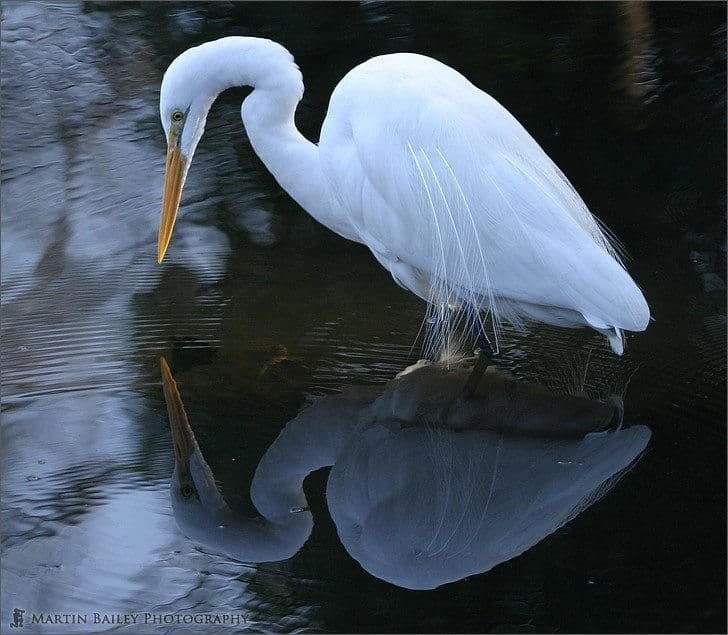 Great White Egret's Reflection (Gyoen)