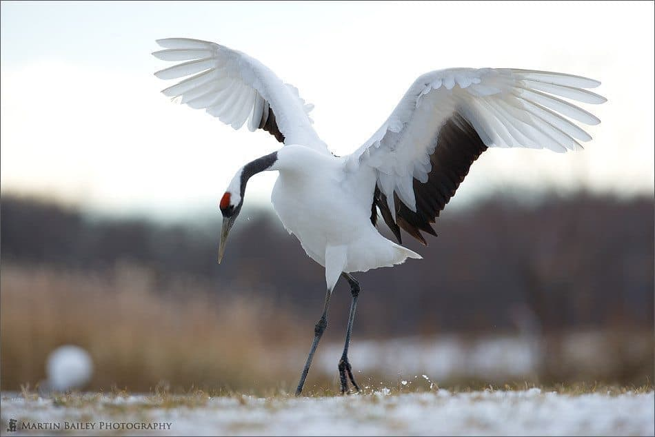 Red-Crowned Crane (Tsurui #6)