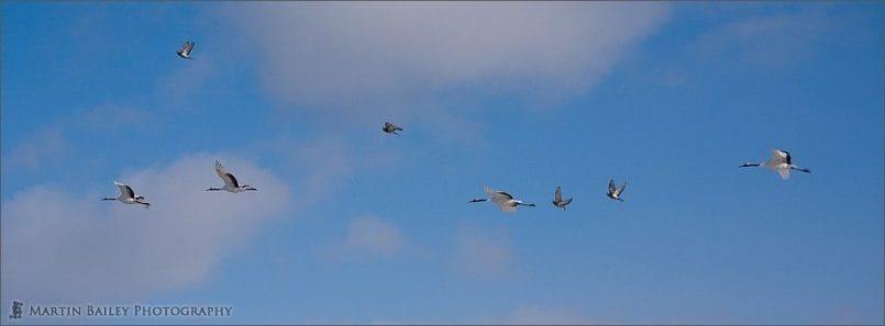 Four Cranes, Four Pigeons
