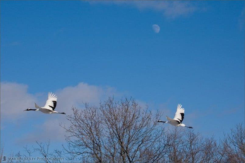 Cranes and the Moon #1