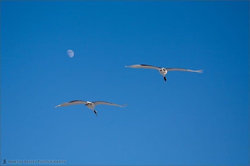 Cranes and the Moon #5