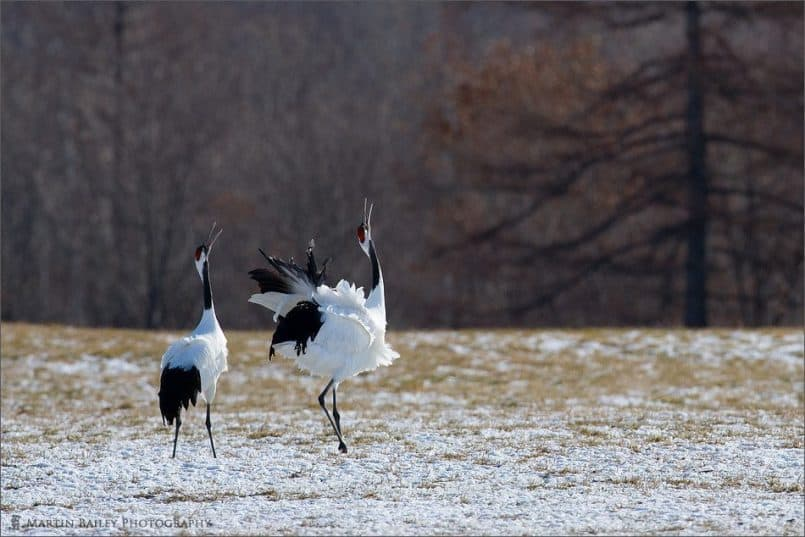 Red-Crowned Crane (Tsurui #29)