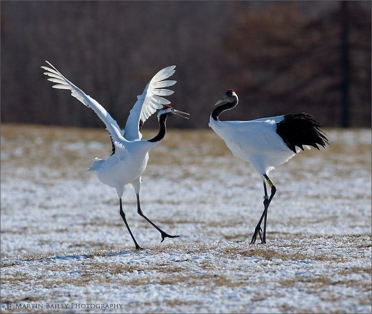 Red-Crowned Crane (Tsurui #33)