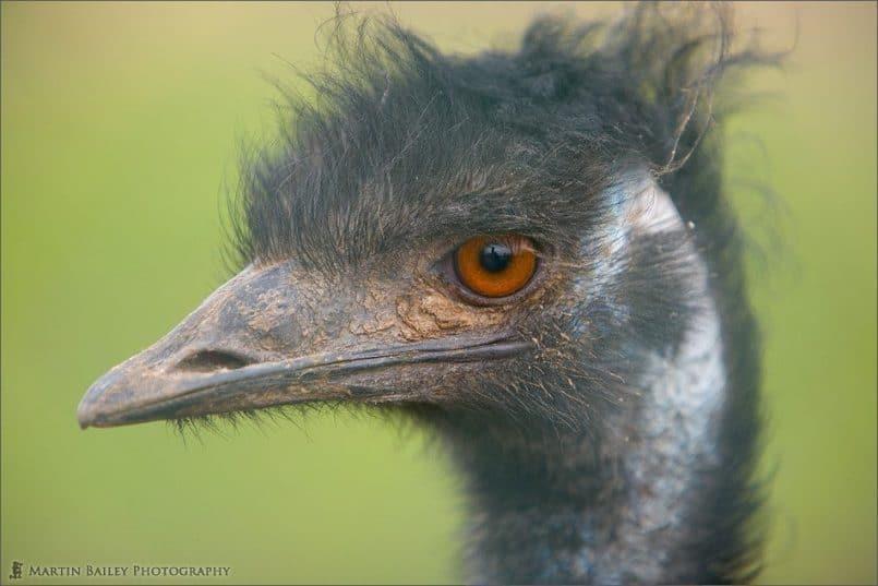 Emu Portrait [C]