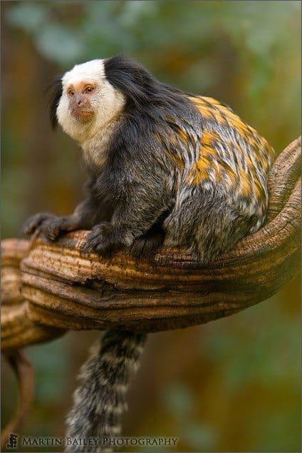 Geoffroy's marmoset #1 [C]