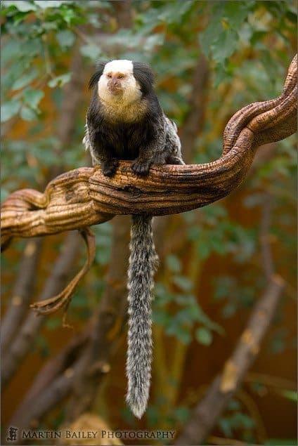 Geoffroy's marmoset #2 [C]