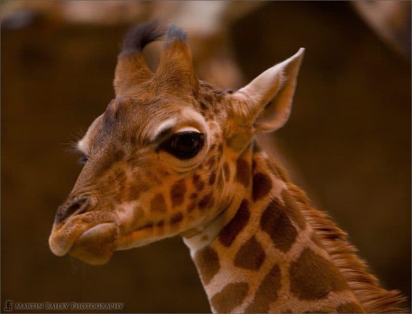 Grumpy Giraffe (Giraffa camelopardalis) [C]