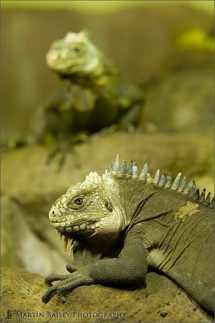 Two Rhinoceros Iguana (Cyclura cornuta) [C]