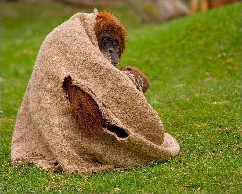 Embarrassed Orang-utan (Pongo pygmaeus) [C]