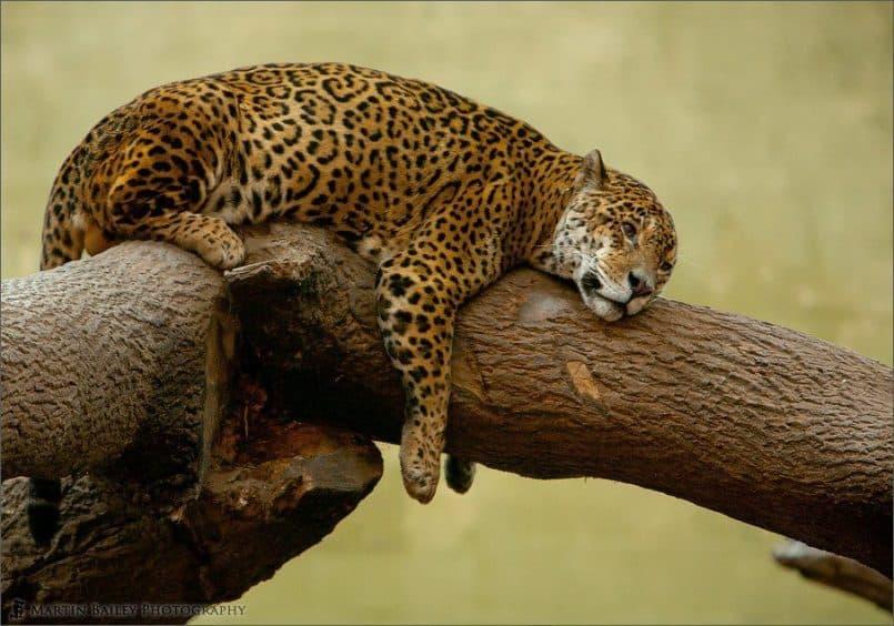Dozy Jaguar [C]