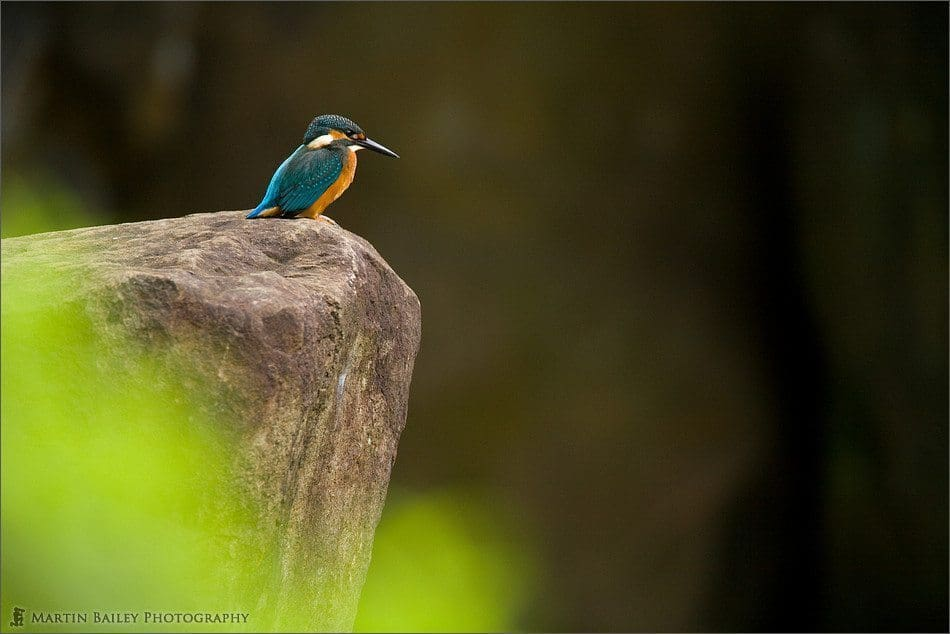 Common Kingfisher #1