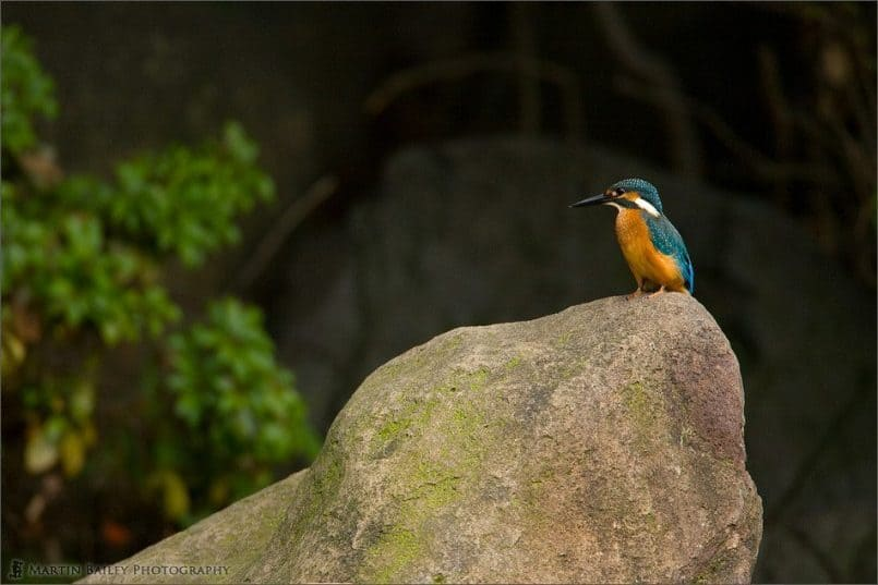 Common Kingfisher #3