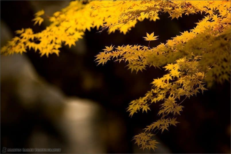 Yellow Momiji Against Trunk