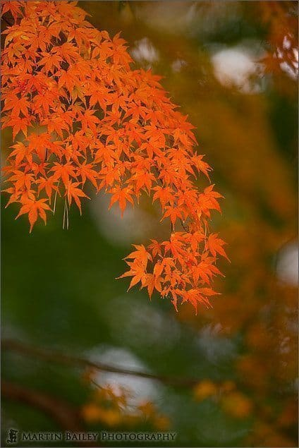 Orange Momiji