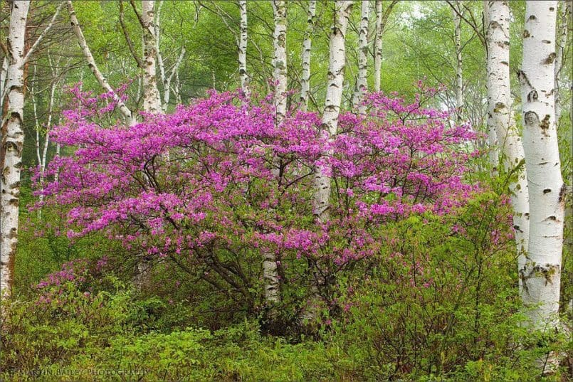 Rhododendron in White Birch