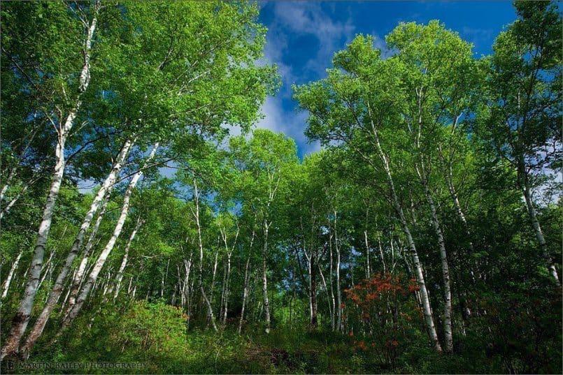 Birch, Azalea & Blue Sky