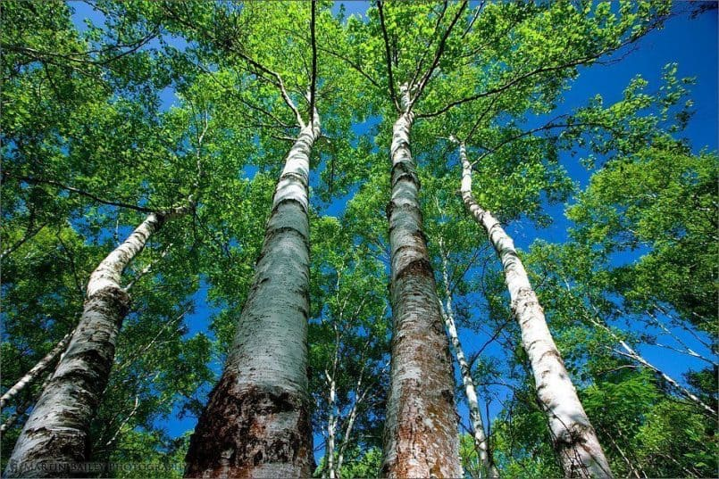 White Birch & Blue Sky