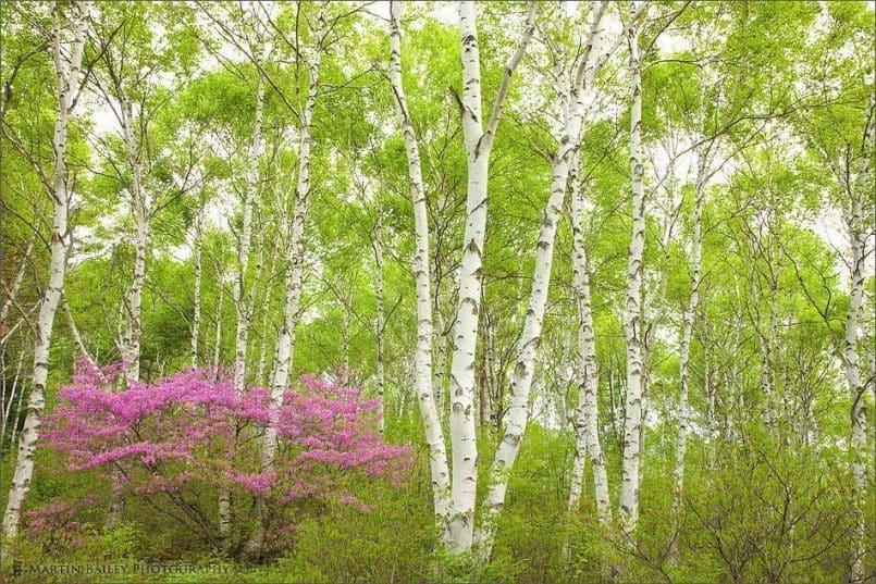 Rhododendron in White Birch #3