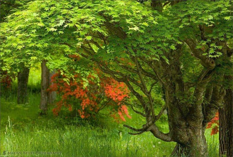Maple with Azalea