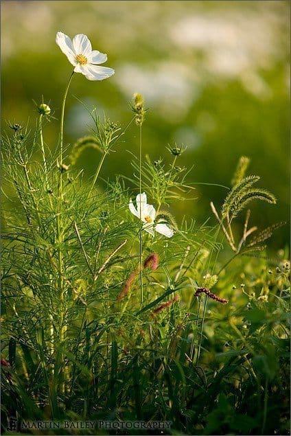 Wild Flower Cosmos