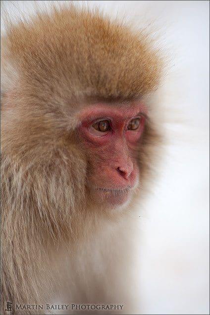 Macaque #1