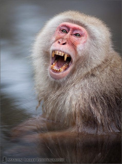 Menacing Yawn - Macaque #14