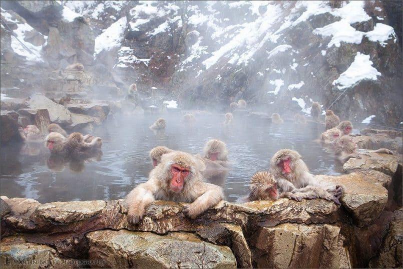Communal Bath - Macaque #31