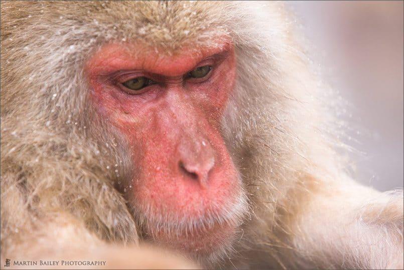 Macaque #24