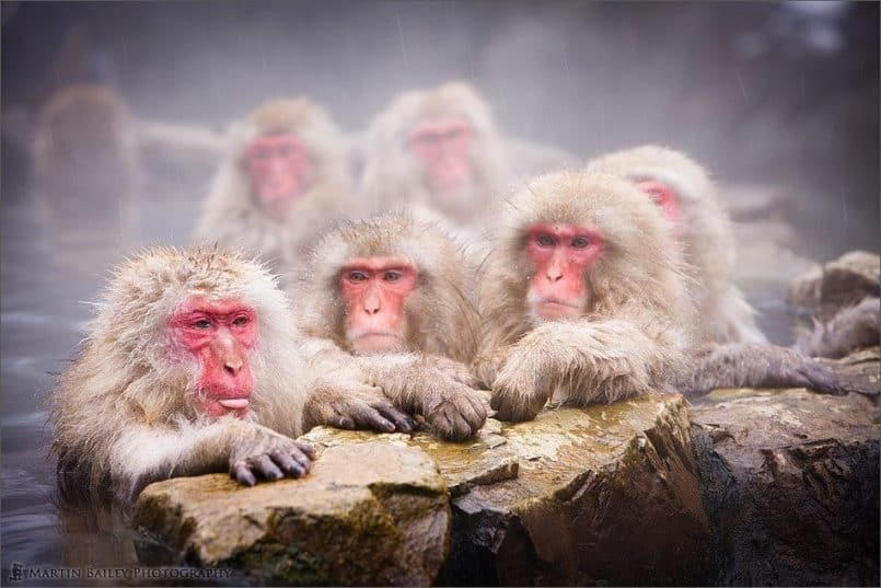 Dry Lips - Macaque #43