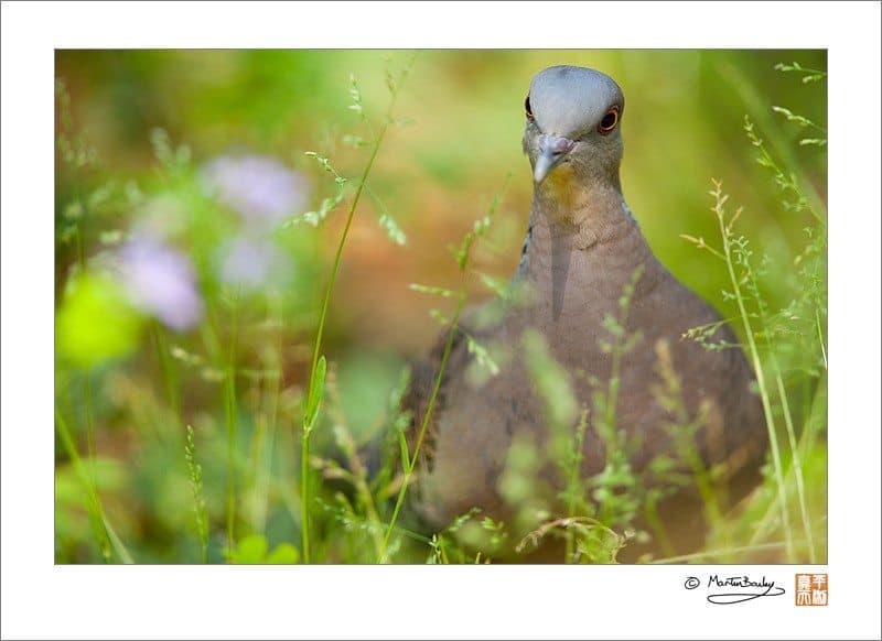 #2274 - Eastern Turtle Dove